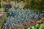 Beet mit Porree (Allium porrum), kleine Hecke aus Buxus (Buchs), Gartentor