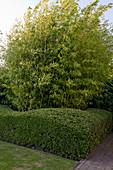 Noun : formgeschnittene Hecke aus Lonicera Maigrün' (Heckenkirsche) und Phyllostachys aurea (Bambus)