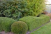 Noun : formgeschnittene Hecke und Kugel aus Lonicera Maigrün' (Heckenkirsche), Viburnum pragense (Prager Schneeball), Phyllostachys aurea (Bambus)