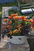 Tulipa 'Orange Princess' (Tulpen), Heuchera 'Amethyst Myst'