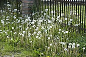 Pusteblumen in der Wiese sind Samenstände von Taraxacum (Löwenzahn)