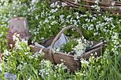 Blühender Waldmeister im Beet und im Korb