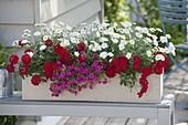 Frau bepflanzt Balkonkasten mit Verbena Vepita 'Fire Red'