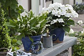 Convallaria majalis (Maiglöckchen) und Hydrangea (Hortensie)