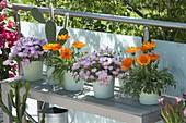 Gazania (Mittagsgold), Mesembryanthemum (Mittagsblumen), Opuntia