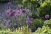 Allium 'Globemaster' (Zierlauch) in Beet mit Alchemilla (Frauenmantel)