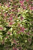 Frühjahrsaustrieb von Spiraea japonica 'Golden Princess'