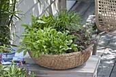 Asia - Korb mit Asia - Salat Mizuna (Brassica), Komatsuna 'Green Boy'