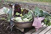 Frisch geernteter Kohlrabi (Brassica oleracea var. gongylodes)