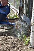 Duftwicken an Rankgitter pflanzen