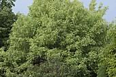 Acer negundo 'Variegatum' (Eschen-Ahorn)