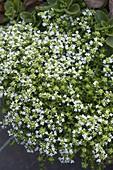 Thymus serpyllum 'Albus' (weißer Teppich-Thymian)
