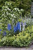 Cornus kousa var. chinensis 'Schmetterling' (Blumenhartriegel), Alchemilla