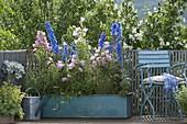 Campanula medium (Marienglockenblume), Delphinium elatum