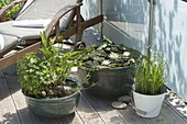 Mini - Teiche auf der Terrasse : Nymphaea 'Marliacea Chromatella'