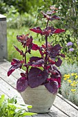 Rote Melde (Atriplex hortensis var. rubra), altes Bauerngarten-Gemüse