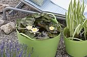 Nymphaea 'Marliacea Chromatella' (Seerose), Iris variegata