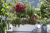 Frau bepflanzt Kasten mit Rosenstämmchen und Kräutern