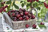 Frisch gepflueckte Kirschen (Prunus avium) in Körbchen mit Henkel