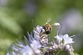 Biene , Honigbiene (Apis mellifica) auf Phacelia (Bienenfreund)