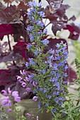 Anchusa (Ochsenzunge), Salvia nemorosa (Steppen - Salbei)