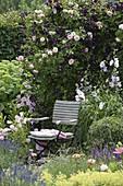 Rosa 'Kir Royal' (Kletterrose) und Clematis viticella 'Romantika' im Beet