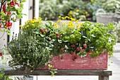 Holz - Kasten mit Thymian (Thymus), Tagetes tenuifolia (Studentenblumen)