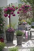 Rosen - Hochstaemme mit Ramblerrose 'Super Excelsa' auf der Terrasse