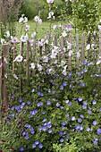 Staketen - Zaun mit Lavatera thuringiaca 'Barnsley' (Busch - Malven)
