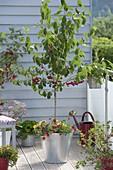 Sauerkirsche 'Saphir' (Prunus cerasus)