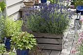 Lavendel 'Hidcote Blue' (Lavandula) in Holzkiste, Walderdbeere
