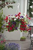 Ampeltopf mit Verbena (Eisenkraut) in drei Farben bepflanzt