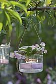 Glas mit Schwimmkerzen als Windlicht an Ast gehängt , Lathyrus latifolius