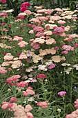 Achillea Millefolium-Hybride 'Excel' (Schafgarbe)