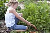 Mädchen erntet Möhren , Karotten (Daucus carota) im Gemüsebeet