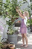 Kirschen - Ernte auf der Terrasse