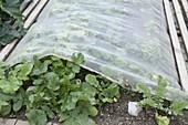 Chinakohl (Brassica) mit Gewebe - Vlies vor Kohlweissling schützen