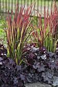 Imperata cylindrica 'Red Baron' (Japanisches Rotgras) und Heuchera