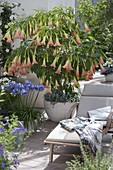 Duft - Terrasse mit Datura 'Pink Favorite' und Agapanthus