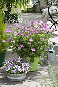 Duft - Terrasse mit Pelargonium 'Pink Capitatum' (Duftgeranie), Dianthus