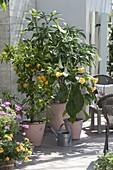 Duftterrasse mit Datura (Engelstrompeten), Citrus sinensis