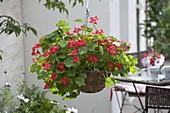 Korb - Ampel mit Tropaeolum Whirlybird 'Cherry Rose' (Kapuzinerkresse)