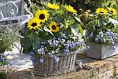 Helianthus 'Bert f1' (Sonnenblumen) und Campanula (Glockenblumen)