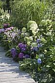 Schattenbeet mit Hydrangea macrophylla 'Cote d'Azur' 'Endless Summer'