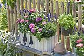 Selbstgebauter Holzkasten mit Lavendel 'Hidcote Blue' (Lavandula), Zinnia