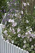 Lavatera thuringiaca 'Barnsley' (Busch - Malven)
