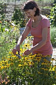 Frau schneidet Rudbeckia fulgida (Sonnenhut) schneiden