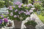Hydrangea macrophylla 'You and Me' (Hortensie) und Astilbe 'Pumila'