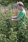 Mann bindet Himbeerruten (Rubus idaeus) an Draht fest