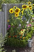 Helianthus (Sonnenblumen), Cosmos (Schmuckkörbchen), Zinnia